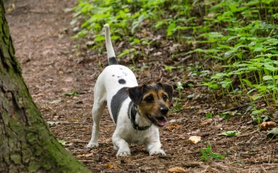 jack russell 8